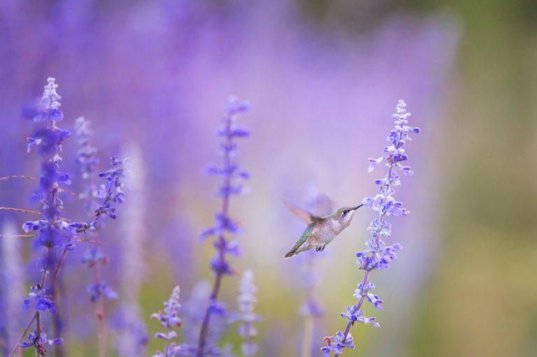 colibri_che_vola